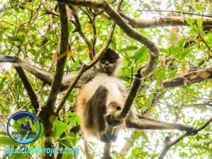 monkey in trees punta laguna