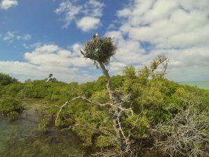 eagle nest, Punta Allen