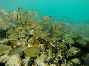school of snappers, Punta Allen