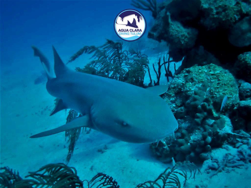 nurse shark chinchorro